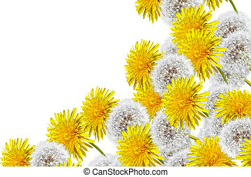 spring flowers dandelions