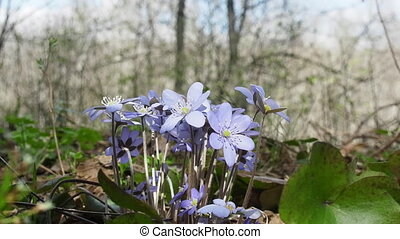Spring flowers Europe. Noble mayflower (Hepanca nobilis)....