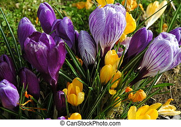 Spring flowers - First sign of spring concept yellow and...