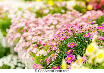 Spring flowers in garden center greenhouse choice of potted...