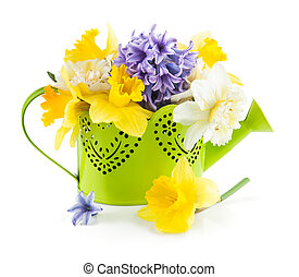 Spring flowers in green watering can. Isolated on white...