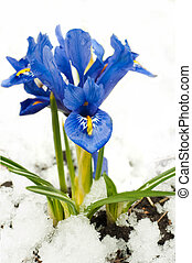 Spring flowers, irises on a white background