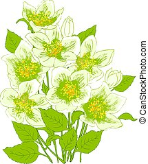 Spring flowers jasmine