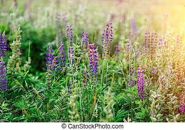 spring flowers lupine field on a sunny day