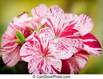 Spring flowers of geranium