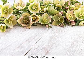 Spring flowers of Hellebore on light wood (Helleborus orientalis) text space
