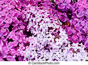 Spring Flowers of Lilac