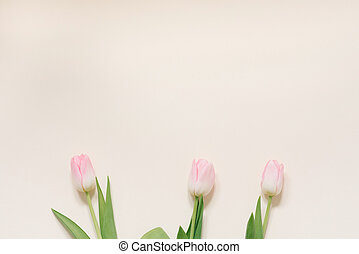 Spring flowers of pink tulips on a white background, top view in flat lay style. Congratulations on women's or mother's day. Copy space