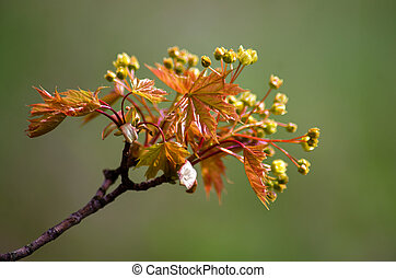 Spring flowers of the maple tree