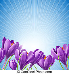Spring flowers on a blue background - Spring crocus flowers...
