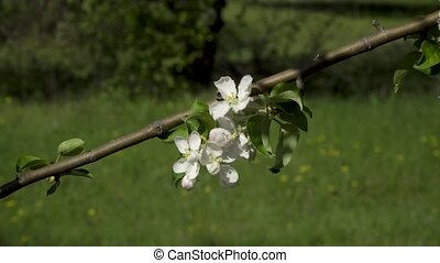 Flowers on a flowering tree - Spring. Flowers on a flowering...