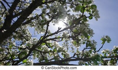 Spring flowers on an apple tree. The sun shines through the leaves