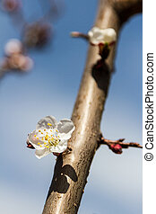 Spring flowers on apricot