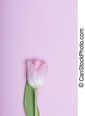 Spring flowers. One pink tulip on a pink background.