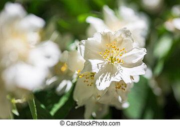 Spring flowers - Philadelphus - Mock Oranges, jasmine spring...