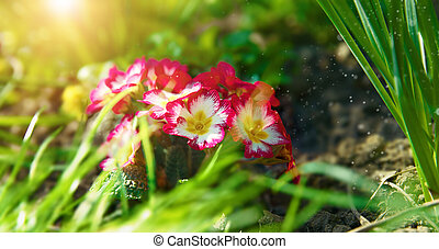 Spring flowers primula in green grass