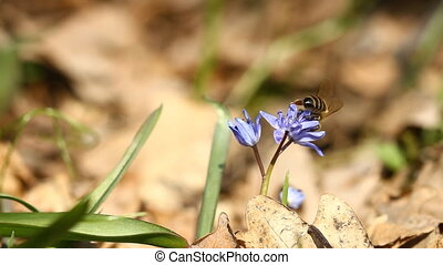 Spring flowers Scilla bifolia and bee
