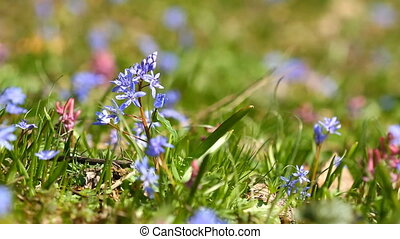 Spring flowers Scilla bifolia on the green grass