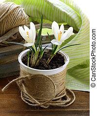 spring flowers snowdrops (crocus)