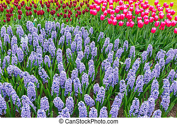 Spring flowers - Tulips and bluebells in the spring garden