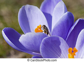 Spring flowers with fly