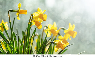 Spring flowers, yellow daffodils on blur background
