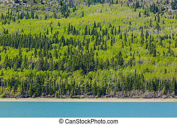 Spring Forest - Mixed forest of Aspen Poplar and Spruce...
