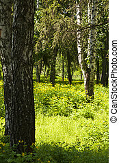 spring forest with birch trees