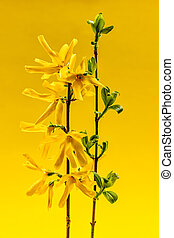 Spring forsythia flowers on yellow background