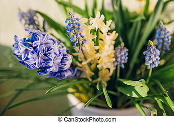 Spring fragrant flowers. Yellow hyacinths, blue muscari grow in pot at home. Close up of plants.