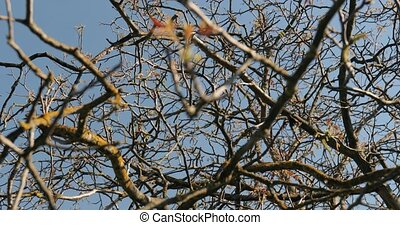 Bare tree in spring with buds starting to emerge
