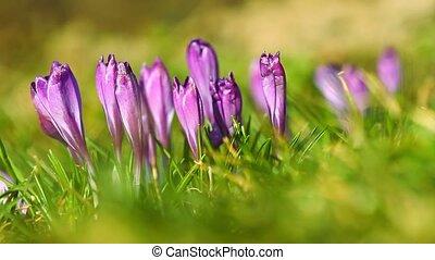 Spring fresh violet crocuses on the grass