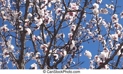 Spring garden, blooming apricot tree and bees. - Spring...