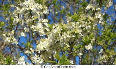 Spring garden, blooming plum tree close-up. - Spring garden,...