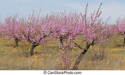 Spring garden of fruit trees. - Spring garden of fruitful...