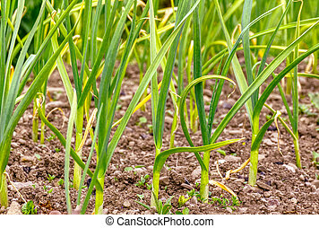Spring garden plants, green young leaves garlic plants