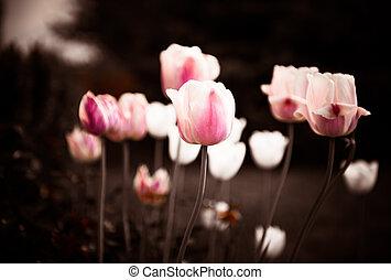 spring garden tulips closeup