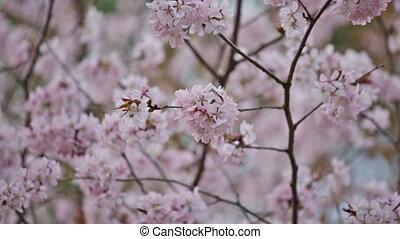 Spring garden with blooming pink Sakura