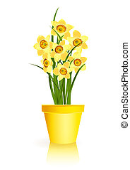 Spring Gardening. Yellow narcissus flowers in pot on white...