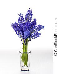 Spring Grape Hyacinth in a vase