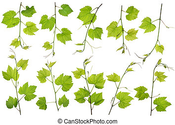 Spring grapes branches isolated set