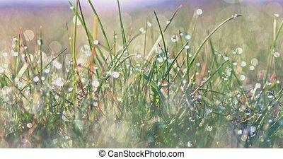 Spring grass in morning dew - Green grass in morning dew in...