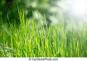 spring grass in sun light