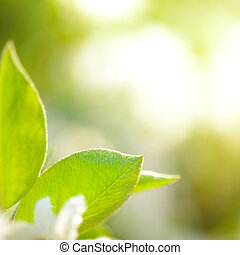 Spring Green Pear Leaves on Bright Blurred Background