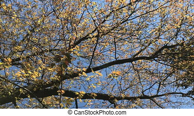 Spring, green young leaves appear on the tree. Overview of...