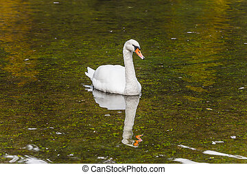 Spring high water. A lonely white swan swims and...