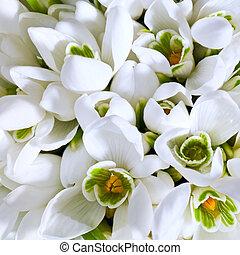 snowdrop flowers background