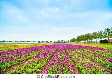 spring., hollande, champ tulipe, culture, blosssom, netherlands., fleurs, ou