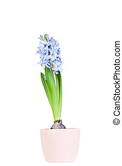 spring hyacinth isolated on pure white background