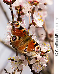 Spring image with butterfly and blossoming fruit tree ....